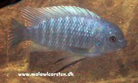 "Labeotropheus fuelleborni ""Blue Eastern"" Eccles Reef"