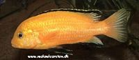 "Labidochromis caeruleus ""Golden Spec."" Intens gul type"