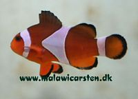 "Amphiprion ocellaris ""Nemo"""