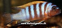"Maylandia sp. ""Zebra Red Top long pelvic"" Gallireya Reef"