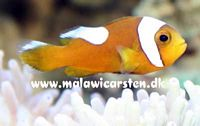 Amphiprion polymnus - Brown saddleback Clown