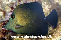 Zebrasoma scopas - Brushtail tang