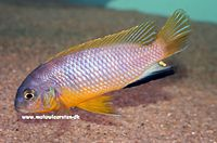 "Tropheops sp. ""tropheops Red Fin"" Tanzania"