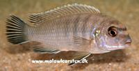 "Labidochromis sp. ""gigas Mara"" Mara Point Mozambique"