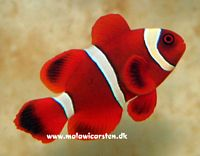 Premnas biaculatus - Yellowstripe maroon clown