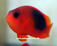Amphiprion ephippium - Fire Clown