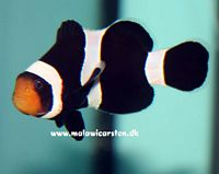 Amphiprion ocellaris (black) Darwini