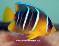 Holacanthus bermudensis - Blue angel