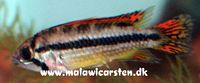"Apistogramma cacatoides ""Double Red"""