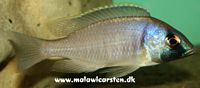 Placidochromis electra Minos Reef Mozambique
