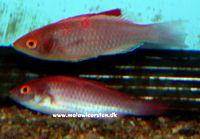 Cirrhilabrus rubripinnis - Red Finned Fairy Wrasse