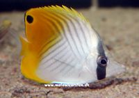 Chaetodon auriga - Threadfin Butterfly