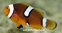 Amphiprion percula Misbar Elevage