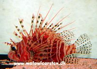 Pterois meles - Red Lion fish