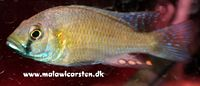 Astatotilapia calliptera Chipoka