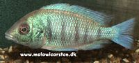 "Placidochromis sp. ""Electra Green"" Gome Rocks (Placidochromis sp. ""phenochilus gisseli"")"